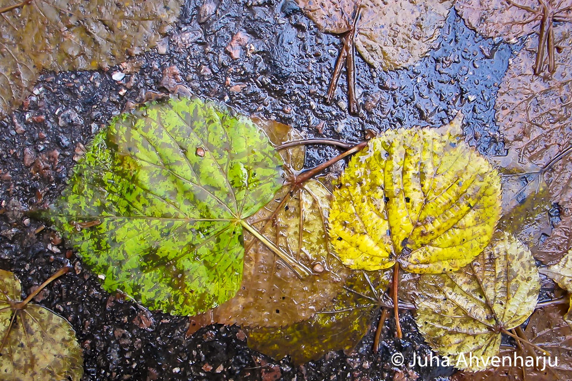 Lehdet-asfaltilla